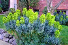 Euphorbia, zeer karakteristieke plant.