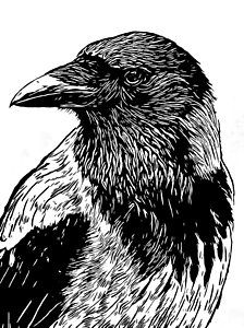 Crow Drawing - Portrait Of A Crow With Head Turned Looking In Black And White I by Philip Openshaw
