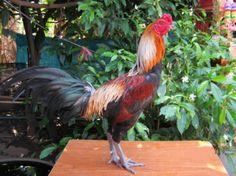 Ayam Juara: Ciri Ayam Bangkok Aduan Menangan Zaman Prabu Brawi...