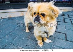 #Cute #Little #Dog #Puppy Standing on the #Pavement - #stock #photo #Shutterstock
