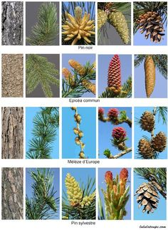 Garden Trees, Trees To Plant, Tree Leaf Identification, Book Design Inspiration, Conifer Trees, Planting Shrubs, Flower Names, Nature Collection, Montessori Materials