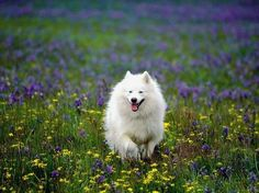 American Eskimo http://media-cache8.pinterest.com/upload/19140367135813234_c5p6Bus1_f.jpg silversprings dogs