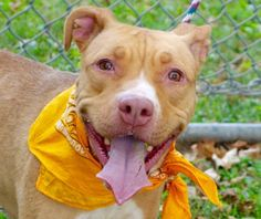 ANASTASIA - A1045809 - - Manhattan  TO BE DESTROYED 08/18/15 A volunteer writes: I love the color orange ! It is sunny, summery and happy..This is why dogs this color always appeal to me. Anastasia is as bright as a pumpkin but as thin as a stick. Her coat shines in the sun and her very long tail swings slowly in the air. She feels better and better as our walk goes on in Jefferson Park.She does her business in one stop. Her pace slows down and she actually looks around, sm