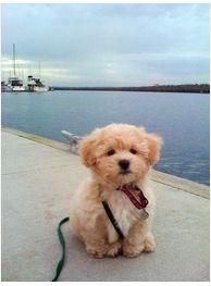 zuchon/ shichon puppy