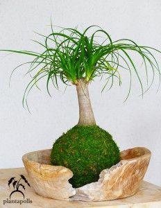 Kokedama ponytail palm (beaucarnea recurvata)