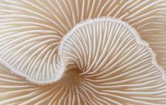 Crepidotus cesatii   #fungus  #white