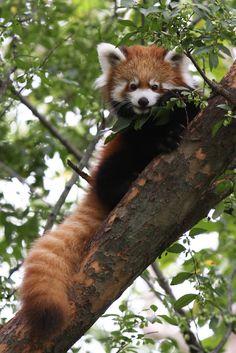 Baby Red Panda ... it's so fluffy!!!! <3