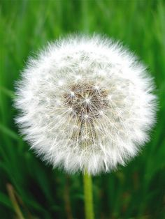 Dandelion...I've made so many wishes blowing the seeds on these flowers