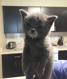 Chaton gris qui boit du lait