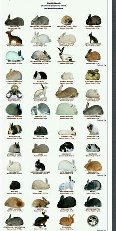 Rabbit breeds recognized by the American Rabbit Breeds Assoication- except the newest breed as of November 2013 (the loinhead) Bunny - good image Lillian J. Johnson Stuff I Like - Part 4 Rabbit breeds recognized by the American Rabb Baby Bunnies, Cute Bunny, Pet Bunny Rabbits, Dwarf Bunnies, Bunny Bunny, All About Rabbits, Rabbit Breeds, Breeds Of Rabbits, Raising Rabbits