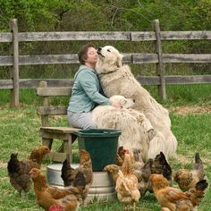 A woman with her chickens & her 2 beloved Great Pyrenees dogs. Surrounded by love. Big Dogs, I Love Dogs, Dogs And Puppies, Doggies, Happy Animals, Farm Animals, Cute Animals, Terra Nova, Chicken For Dogs