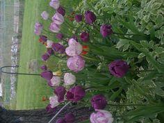 Tip toe through the tulips!!