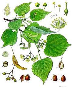 Beneficios, propiedades y usos de la tila y el té de tila.