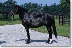Standardbred - stallion Vate Lobell