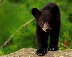black bear cub -  someone thought it was our Newfoundland dog Gander!