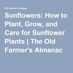 Sunflowers: How to Plant, Grow, and Care for Sunflower Plants | The Old Farmer's Almanac