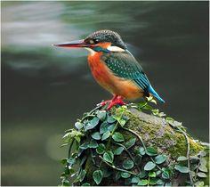 River Kingfisher Taken At Yangmingshan Taipei City TAIWAN