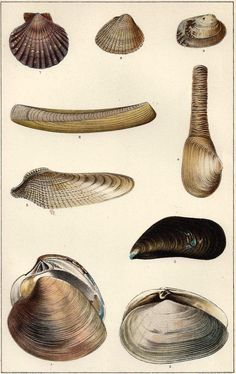 1900s print Clams and Edible Mussels  Antique1909 Bookplate Lithograph Great  to Frame