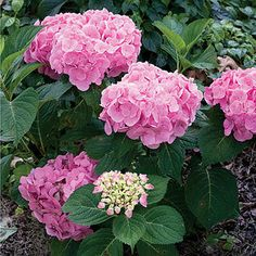 Lets Dance™ Moonlight Hydrangea- reblooming and sturdy branches that will never droop!