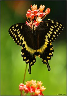 Palamedes Swallowtail on Scarlet Milkweed by Steve Coleman on Flickr