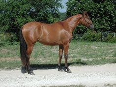 Azteca Stables - Horses First!: About the Azteca Horse