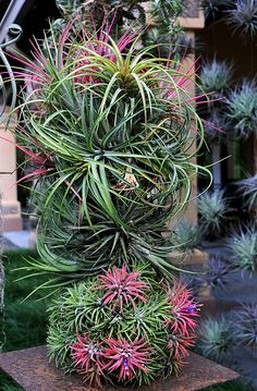 Air Plant Topiary | Flickr - Photo Sharing!