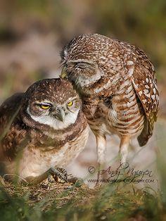 Burrowing Owls   Andy Nguyen Photography