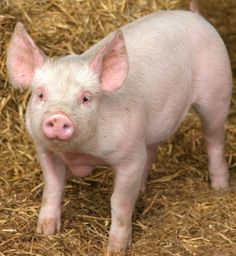 Images of real farm animals | have a feeling that there will be no straw in sight in the hog farms ...