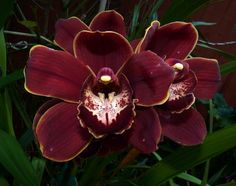 cym bellissimo art | cymbidium cracker jack midnight magic cymbidium cranbourne chase gx ...