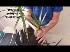 How to Prune & Propagate your Draceana plants Dracena Marginata, Marginata Plant, Garden Plants, House Plants, Indoor Plants, Indoor Gardening, Gardening Tips, Draceana Plant, Dragon Tree Plant