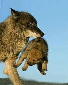 Wolf mother carries her cub.