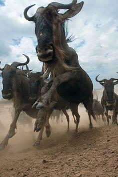 Up close wildebeest migration