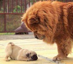 Brave pug puppy