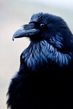 Common Raven. Photo by Yellowstoned