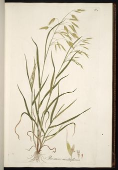 Field brome drawing