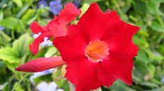 Flor del desierto Roja
