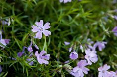Purple Phlox ~ Sarah K Davis Photography  Late Spring 2017