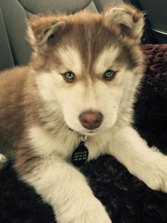 Owwwww it's just so adorable I love huskys