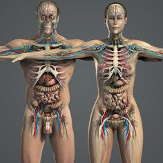 Body Anatomy Organs, Human Body Organs, Human Anatomy Female, Human Body Diagram, Basic Anatomy And Physiology, Human Body Facts, Anatomy Models, Medical Anatomy, Muscle Anatomy