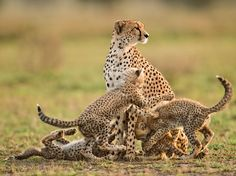 Photograph by Frans Lanting, National Geographic. A young cheetah mother named Etta by researchers scans the Serengeti for signs of danger while her four 12-week-old cubs wrestle. A long-running study has found that the majority of cubs here are raised by a small group of cheetah supermoms. Cheetah Mother and Cubs, Tanzania