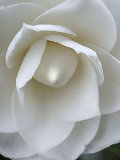 ~~White Camellia by LauraElaine~~