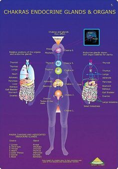 A chart/pictograph that shows which gland/organ is governed by what chakra.