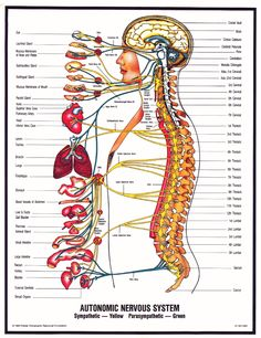 The autonomic nervous system, which acts as the control system, the organs of the . - The autonomic nervous system, which acts as the control system to run the body& organs, to ma - Peripheral Nerve, Peripheral Neuropathy, Nervous System Structure, Chiropractic Therapy, Chiropractic Benefits, Health Images, Autonomic Nervous System, Cranial Nerves, Body Organs