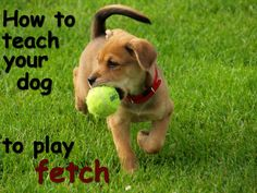Having a dog is not always an easy thing... particularly not easy if your dog cannot play fetch. Therefore here are a few tips on how to teach your dog to play fetch - I hope you will make good use of them.