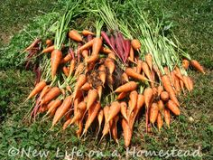How and When To Harvest and Store Carrots