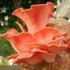 """fungiandflora: """" Pleurotus djamor (pink oyster mushroom). Just gorgeous. """""""