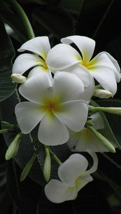Plumeria! Accent Flowers  Gifts in Waterford, MI is the BEST florist in Oakland county for SO many reasons! Call (248) 461-6941 or visit our website https://www.aaflowershop.com to see what we are all about and to place your order!