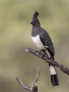 White-bellied Go-away-bird (Corythaixoides leucogaster) spotted in Manyara, Tanzania by PN user treklightly: