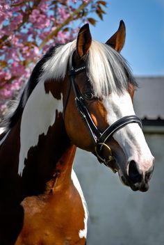 Gorgeous Skewbald Horse. #Cheval #Horse
