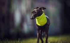 Italian Greyhound clothing #italiangreyhound #italiangreyhoundclothing #charcikwłoski #dogwear #dogclothes #neon
